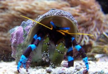 blueleg hermit crab