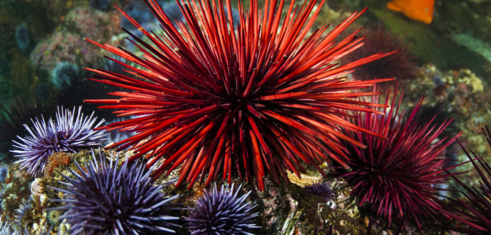 spiny sea urchin